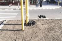Câinii şi căţelele olteniţene